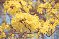Yellow tabebuia spring blossom in vintage retro tone Royalty Free Stock Images