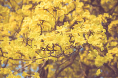 Yellow tabebuia spring blossom in vintage retro tone Stock Image