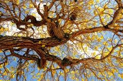 Yellow tabebuia tree in full bloom Royalty Free Stock Photos