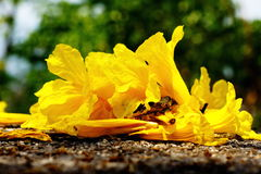 Yellow tabebuia, Trumpet flower Royalty Free Stock Photography