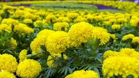 Yellow Tagetes. Royalty Free Stock Image