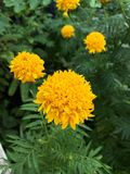 Yellow tagetes erecta flower Stock Images
