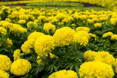 Yellow Tagetes Field. Stock Photos