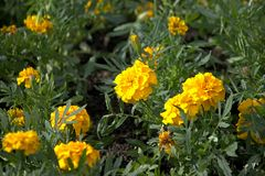 The yellow Tagetes flowers on the summer lawn. The yellow Tagetes flowers on the lawn Stock Photo