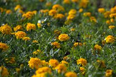 The yellow Tagetes flowers on the summer lawn. The yellow Tagetes flowers on the lawn Stock Photography