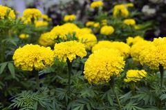 Yellow Tagetes in Green Grass. Stock Images