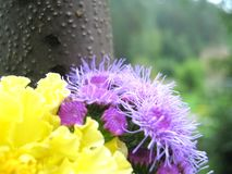 Tagetes and Ageratum Look Good Together. Yellow Tagetes and lilac Ageratum against a tree trunk and green trees in the background Royalty Free Stock Photo