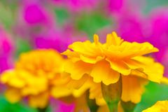 Yellow tagetes marigold flower on a background of pink flowers in the garden in blur shallow depth of field royalty free stock photo