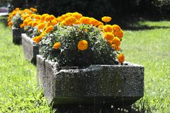 Yellow Tagetes planted in concrete plots. Marigold is a genus of stock images