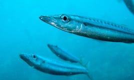 Yellow tail barracuda. A small yellow tail barracuda swims towards the camera Royalty Free Stock Photos