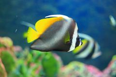 Yellow tail butterfly fish Stock Photography