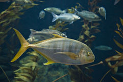 Yellow tail fish. Big fish in a front of aquarium Stock Photo