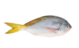 Yellow tail fish isolated Stock Image