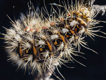 Yellow-tail moth caterpillar Stock Photo
