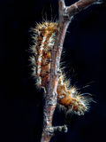 Yellow-tail moth caterpillar Royalty Free Stock Photography