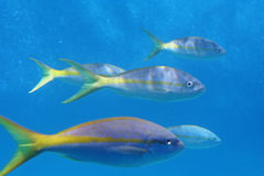Yellow Tail School. Small school of yellow-tailed Caribbean fish in an aquarium stock photography