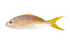 Yellow Tail Snapper. One yellow tail snapper isolated on white Royalty Free Stock Images