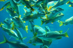 Yellow tail snapper fish. School of Caribbean yellow tail snapper fish Stock Photo