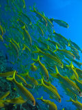 Yellow Tail Surgeon Fish at Great Barrier Reef Stock Photo