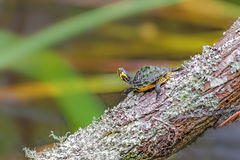 Yellow Tail Turtle royalty free stock photography