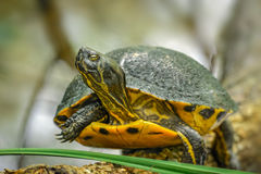Yellow Tail Turtle Stock Photos