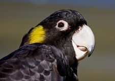 Yellow-tailed black cockatoo. Close-up of yellow-tailed black cockatoo Royalty Free Stock Photography