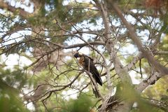 Yellow-tailed Black Cockatoo Stock Images