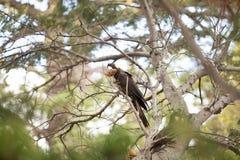 Yellow-tailed Black Cockatoo Stock Photo