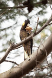 Yellow-tailed Black Cockatoo Royalty Free Stock Image