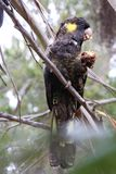 Yellow-tailed black cockatoo eating a nut Stock Photos