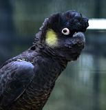 Yellow-tailed Black-cockatoo Royalty Free Stock Image