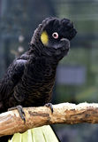 Yellow-tailed Black-cockatoo Stock Photo