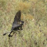 Yellow tailed black cockatoo in a hedge row in Australia. Royalty Free Stock Photos