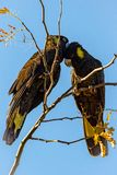 Yellow Tailed Black cockatoo`s in a tree stock photo