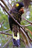 Yellow-tailed black cockatoo eating a nut Royalty Free Stock Photos