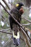 Yellow-tailed black cockatoo eating a nut Royalty Free Stock Images
