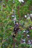 Yellow-tailed black cockatoo sitting in a tree. Yellow Tailed Black Cockatoo sitting in tree with greenery in background Royalty Free Stock Photography