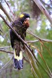 Yellow-tailed black cockatoo sitting in a tree. Yellow Tailed Black Cockatoo sitting in tree with greenery in background Stock Images