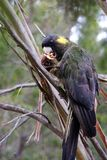 Yellow-tailed black cockatoo sitting in a tree having breakfast Royalty Free Stock Images
