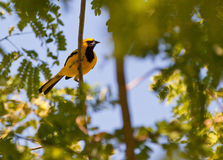 Yellow-tailed Oriole Royalty Free Stock Photo