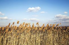 Yellow tall grass under a blue sky with cloudscape stock images