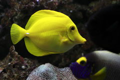 Yellow tang. The yellow tang (Zebrasoma flavescens) is a saltwater fish species of the family Acanthuridae. It is one of the most popular aquarium fish royalty free stock images