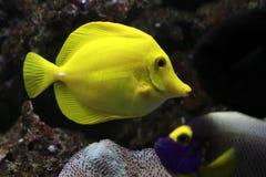 Free Yellow Tang Royalty Free Stock Images - 13199719