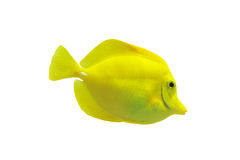 Yellow tang. Full side view of yellow tang isolated on white stock photo