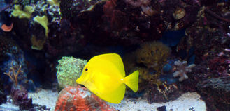 Free Yellow Tang Stock Image - 15228161