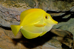 Yellow Tang. Underwater view of a Yellow Tang (Zebrasoma flavescens royalty free stock photos