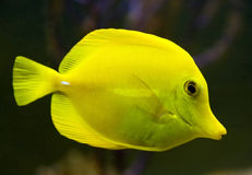 Yellow tang 2 Royalty Free Stock Images