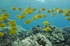 Free Yellow Tang Stock Images - 22109614