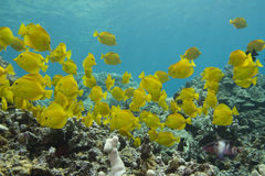 Yellow Tang. This is a picture of a school of Yellow Tang at Honaunau City of Refuge on the Big Island of Hawaii royalty free stock photo