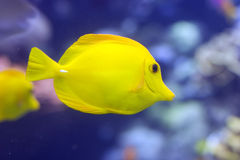 Free Yellow Tang Royalty Free Stock Image - 2415366